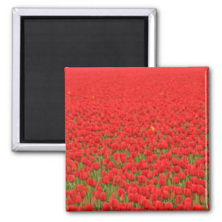Red Tulip Field Magnets