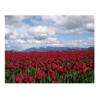 Red Tulip Field Postcard