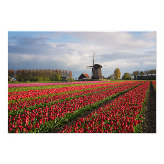 Red tulips and a windmill photo print