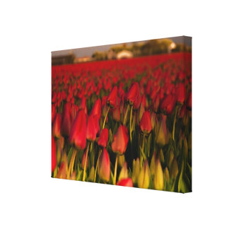 Red Tulips field Holland Landscape Single Canvas