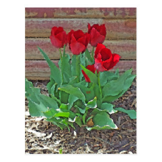 Red Tulips Flowers Petals Bloom in their Prime Postcard