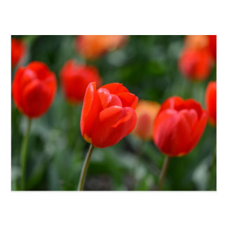 Red Tulips in the Garden Postcard