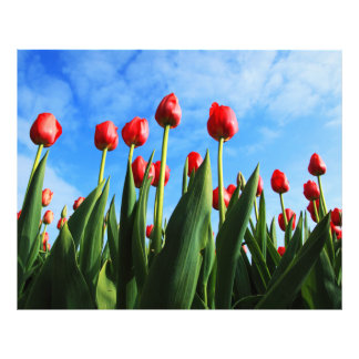 Red Tulips in the Sun Photo Print