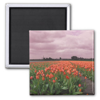 Red Tulips Landscape Magnet