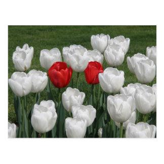 Red Valentine Tulips Postcard