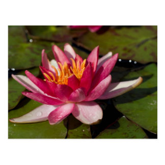 Red Water Lily Post Card
