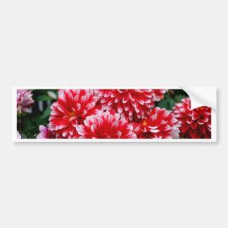 Red & White Dahlias Bumper Sticker