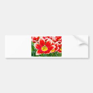 Red white tulip in field of tulips bumper sticker