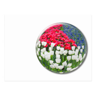 Red white tulips and blue grape hyacinths postcard