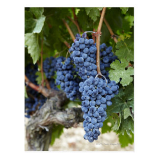 Red wine grapes on the vine postcard