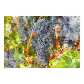 Red Wine Grapes on Vine Photo