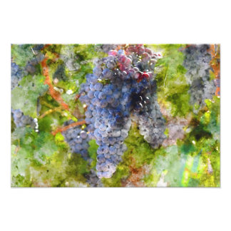 Red Wine Grapes on Vine Photograph