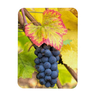 Red Wine Grapes on Vine with Fall Season Foliage Flexible Magnet