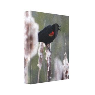 Red-winged Blackbird  (Agelaius phoeniceus) Canvas Print
