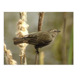 Red-winged Blackbird (female) Postcard