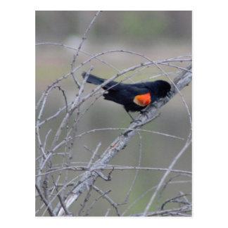 Red-winged Blackbird on a Branch Postcard