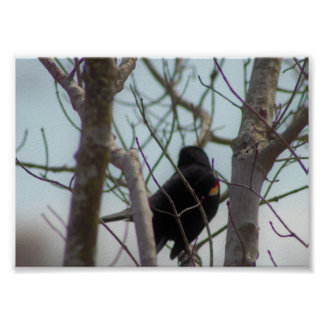 Red-winged Blackbird Photo Poster