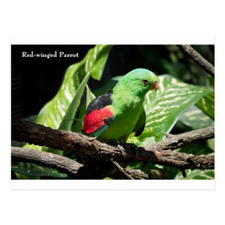 Red-winged Parrot on Tree Limb Postcard