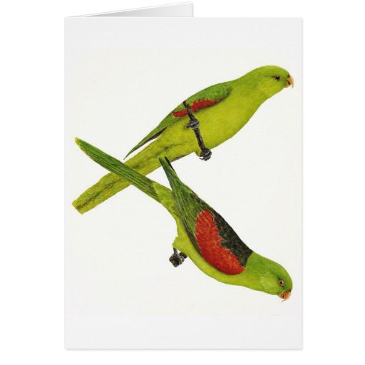 Red-winged Parrot Pair - Aprosmictus erythropterus Cards