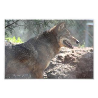 Red Wolf Photo Print