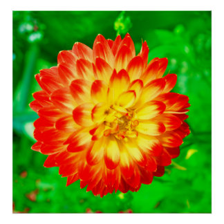 red yellow dahlia posters