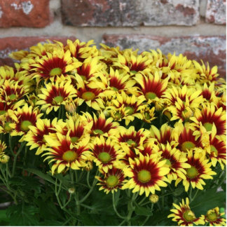 Red Yellow Flowers against brown red brick wall Photo Sculpture Badge