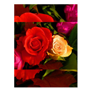 Red Yellow Rose Postcard