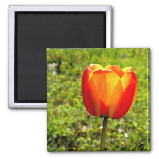 Red & Yellow Tulip Magnet