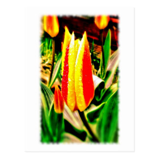 Red/Yellow Tulip Postcard
