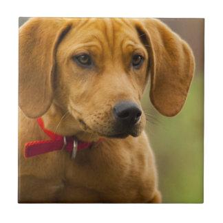 Redbone Coon Hound Dog Puppy Tile