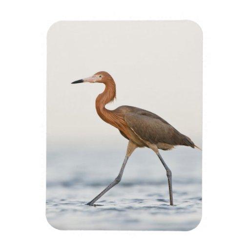 Reddish Egret adult hunting in bay, Texas Rectangle Magnet