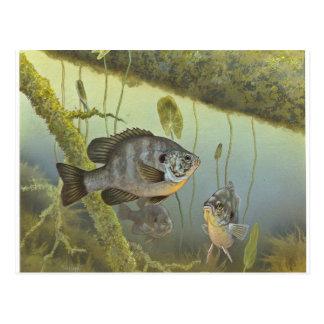 Redear Sunfish Postcard