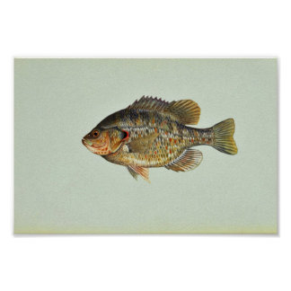 Redear sunfish poster