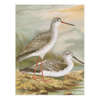 """Redshank"" Vintage Bird Illustration Postcard"