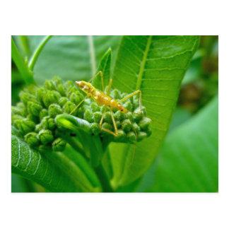 Reduviid Bug on Milkweed Postcard