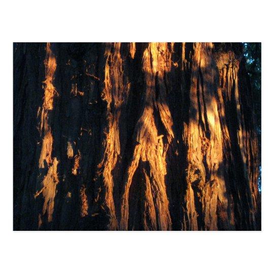 """ Redwood Bark ! "" Postcard"