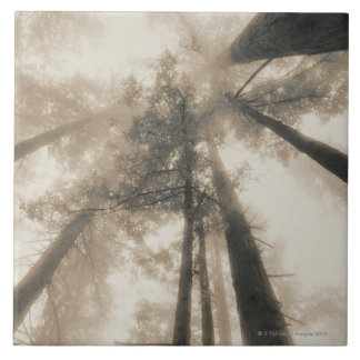 Redwood Forest, Northern California Ceramic Tiles