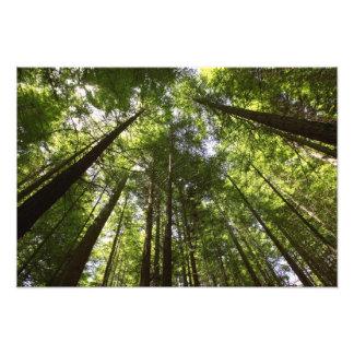 Redwood Forest, Rotorua, New Zealand Art Photo