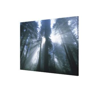 Redwood National Park, Del Norte County, foggy Canvas Print