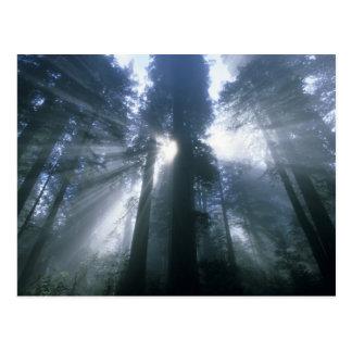 Redwood National Park, Del Norte County, foggy Postcard