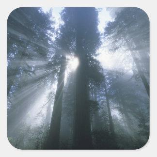 Redwood National Park, Del Norte County, foggy Square Sticker
