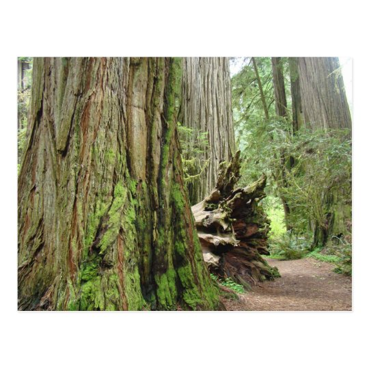 Redwood Tree postcards Big California Redwoods
