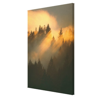 Redwood trees in coastal fog, Marin County, Canvas Prints
