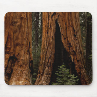 Redwood Trees, Sequoia National Park. Mouse Pad