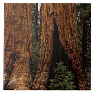 Redwood Trees, Sequoia National Park. Ceramic Tile