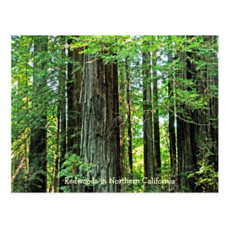 Redwoods in Northern CA Postcard