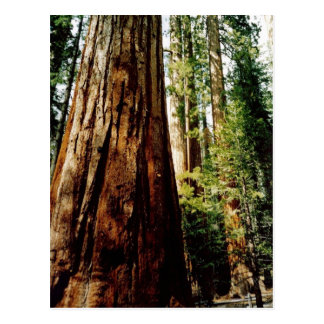 Redwoods in Yosemite Postcard