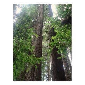 Redwoods Perspective Postcard