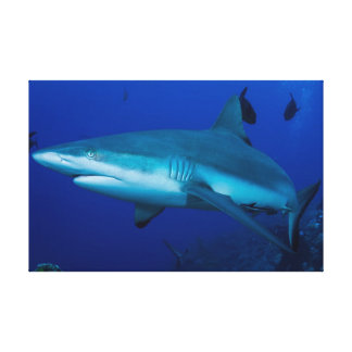 Reef Shark on the Great Barrier Reef Canvas Print