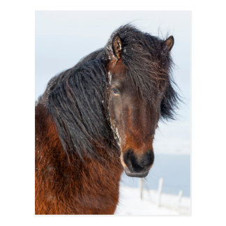 Regal Icelandic Horse Headshot Postcard